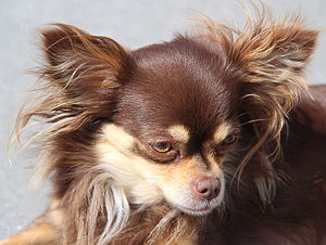 Chihuahua (dog) - A longhair apple head Chihuahua