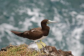 Brown Booby (Sula leucogaster) 471868408.jpg