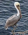 Brown pelican in La Jolla (70776).jpg