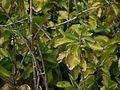 Bryophyllum pinnatum (6331758010).jpg