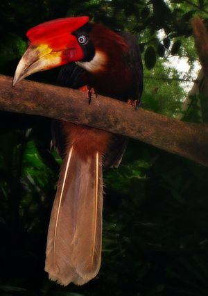 Rufous hornbill - B. h. mindanensis, female in captivity