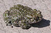 Bufo viridis.jpg