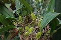 Bulbophyllum clavatum.jpg