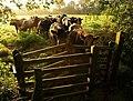 Bullocks near Old Country Wood - geograph.org.uk - 967026.jpg
