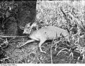 Bundesarchiv Bild 105-DOA0109, Deutsch-Ostafrika, Ducker - Antilope.jpg