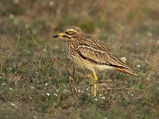 Eurasian stone-curlew species of bird