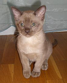 Lilac coloured burmese cat