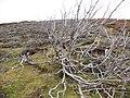 Burnt heather exposing burrows beside Allt na Frithe - geograph.org.uk - 1036999.jpg