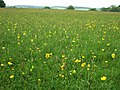 Buttercup Meadow, Hudnall - geograph.org.uk - 174925.jpg