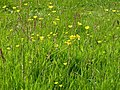 Buttercups - geograph.org.uk - 464858.jpg