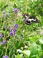 Butterfly - Luang Prabang - Laos.JPG