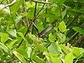 Butterfly from Madayipara DSCN2123.jpg