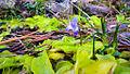 Butterwort Pinguicula corsica, near Évisa (Corsica, France).jpg
