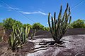 CACTUS SURINAM AMAZONE SOUTH-AMERICA (32976508226).jpg