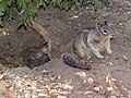 CA Ground Squirrel and burrow.jpg