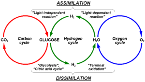 Hydrogen cycle - Interconnection between carbon, hydrogen and oxygen cycle in metabolism of photosynthesizing plants