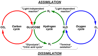Terrestrial biological carbon cycle - Interconnection between carbon, hydrogen and oxygen cycle in metabolism of photosynthesizing plants