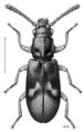 COLE Agapythidae Agapytho foveicollis m.png