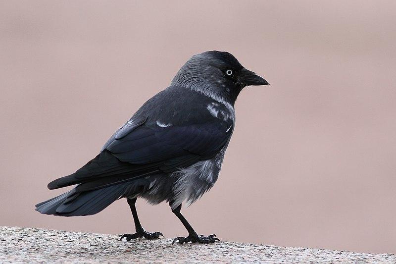 File:CROP. Corvus monedula, naakka, Naantalin hautausmaa, Naantali, 8.11.2011..jpg