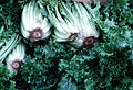 CSIRO ScienceImage 2701 Lettuce.jpg
