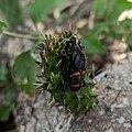 Cactophagus spinolae.jpg