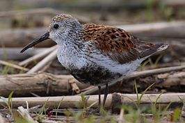 Calidris-alpina-001.jpg