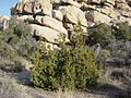 California juniper 2.jpg