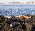 California sea lions in La Jolla (70411).jpg