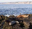California sea lions in La Jolla (70411).jpg