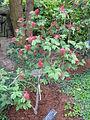 Calliandra emarginata2.jpg