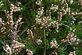 Calluna vulgaris Walchensee.jpg