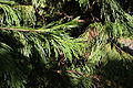 Calocedrus decurrens foliage PAN 2.JPG