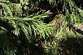 Calocedrus decurrens foliage PAN 2.JPG
