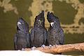 Calyptorhynchus banksii -Taronga Zoo, Sydney, Australia -three-8a.jpg