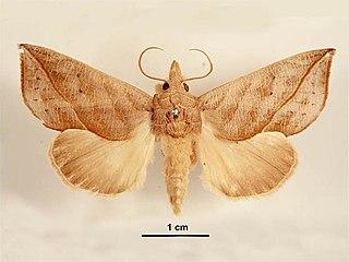 <i>Calyptra minuticornis</i> Species of moth