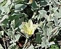 Calystegia malacophylla ssp pedicillata 1.jpg