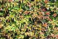 Camellia forrestii in Auckland Botanic Gardens.jpg