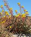 Camissonia brevipes 9.jpg