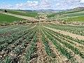 Campo di cipolle.jpg