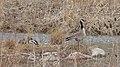 Canada Goose (Branta canadensis) and Mallards (Anas platyrhynchos) Female and Male - Kitchener, Ontario.jpg