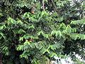 Cananga odorata (11034354354).jpg