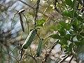 Canavalia gladiata (5486236344).jpg