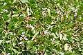 Canavalia lineata (sagar-abai) in Kawal WS, AP W IMG 2204.jpg