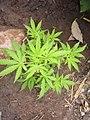 Cannabis sativa plant.jpg