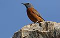 Cape Rock Thrush, Monticola rupestris, at Walter Sisulu National Botanical Garden, Gauteng, South Africa (28788473703).jpg