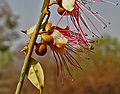 Capparis horrida is it W2 IMG 7542.jpg