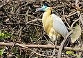 Capped Heron (Pilherodius pileatus) (28297417605).jpg