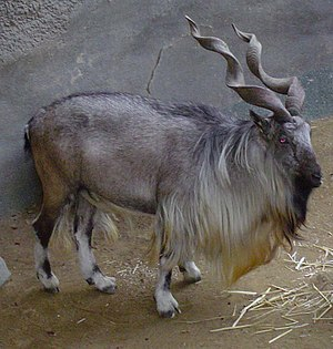 Markhor - Bukharan markhor in captivity at the Los Angeles Zoo