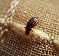 Carabidae, Bradycellus sp. (Possibly B. verbascum) (44591601011).jpg