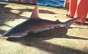 Sandbar shark - Sandbar shark caught in the Atlantic.